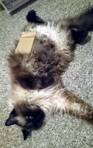 Cardboard on Cat