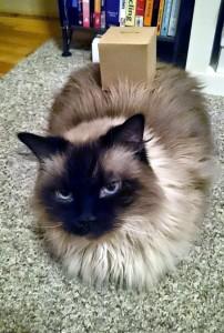 Box on Cat