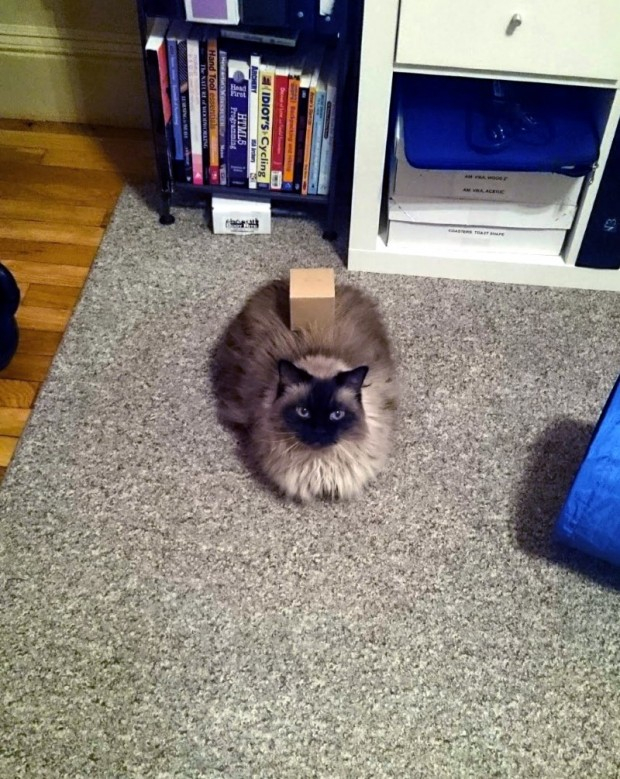 Box on Cat