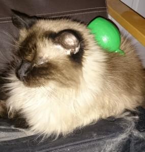 Lime Juice Bottle on Cat